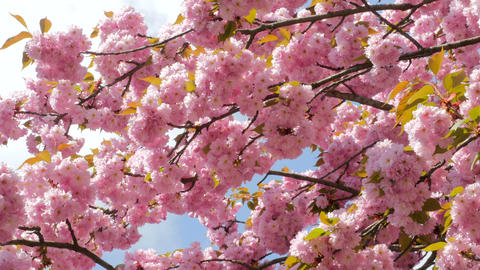 Sacura Blossom Multiple Branches Footage