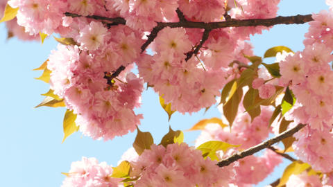 Sacura Blossom On Blue Sky Background stock footage