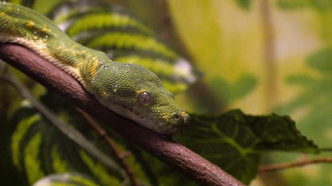 Green Tree Python Close-Up Footage