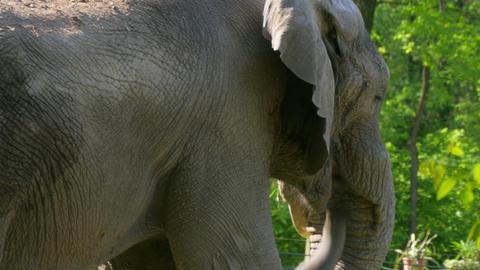 African Elephant (Loxodonta Africana) Footage