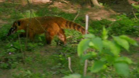 Furry Brown-Nosed Coati Footage