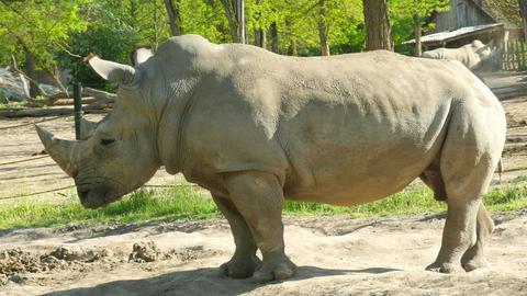 White Rhinoceros (Ceratotherium Simum) Footage