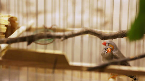 Amadines in cage on banket Footage