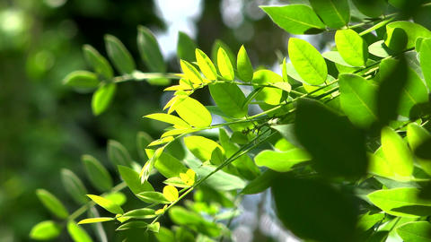 Close up of acacia leaves green background with sun. Nature, freshness ビデオ