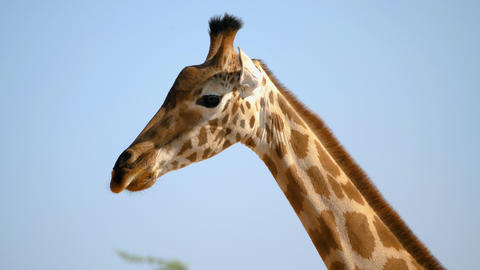 Closeup of african giraffe Footage