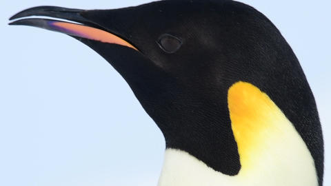 Emperor Penguin close up in Antarctica Live Action