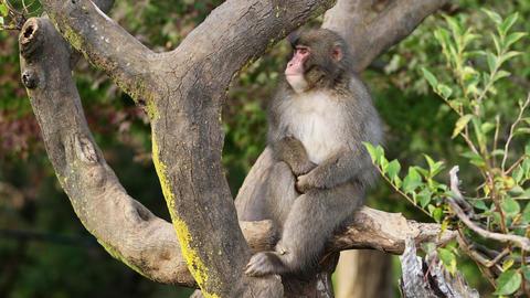Japanese Macaque Shot Near Kyoto Japan ビデオ