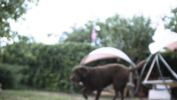 Adult Labrador Retriever Catching a Ball in Slow Motion Stock Video Footage
