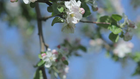 Beautiful blooming apple tree branch in the spring garden on a sunny sunny day Footage