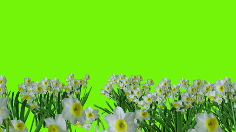Animation for Easter with daffidafills and Jesus on green background Animation