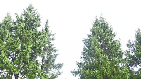 Two firs tremble in the wind very quickly Footage