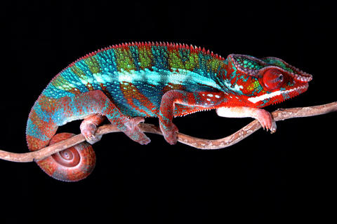 Panther Chameleon Male Photo