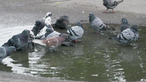 Pigeon shared bath Footage