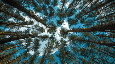 Pine tree forest up view with sky Live Action