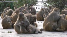 Monkey crowd picking fleas in Swayambhunath hill temple ,Kathmandu,Nepal Footage