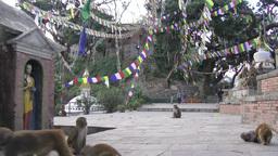 Monkeys swinging in Swayambhunath hill temple,Kathmandu,Nepal Footage