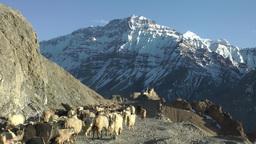 Goat herding in Dhankar Village,Dankhar,India Footage