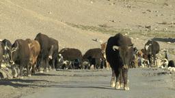 Cattle herding in Ki,Ki,India Footage