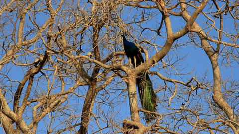 Luxurious male peacock sitting on a bare tree Live Action