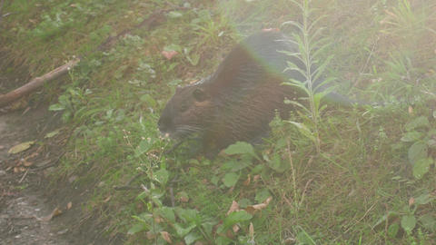 nutria (Myocastor coypus) eats green vegetation Live Action