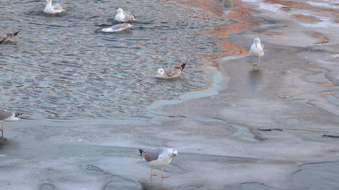 Seagulls on the ice in winter Footage
