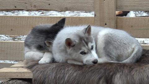 Two Puppies of Siberian Husky Lying Footage