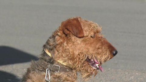 Dog breed Airedale terrier Footage