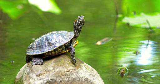 Pond Turtle Heating In The Sun On Rock In Lake Water Footage