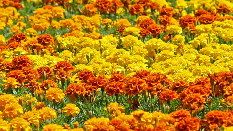 Yellow And Orange Field Of Marigold Flowers In Springtime Footage
