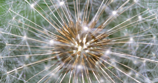 Dandelion Interior Close Up Of Seeds Footage