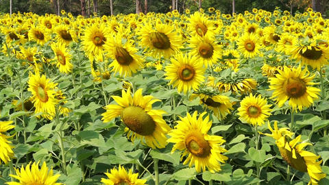 Close up shot sunflowers field in Asia Footage