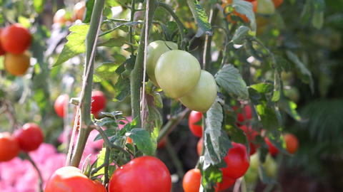 Red, green and yellow tomatoes growing on vine at sunshine farm Footage