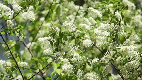 White Bird Cherry Flowers stock footage