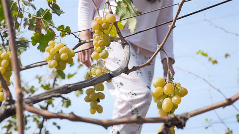 The girl goes through the vineyard. The hand of the girl takes grapes. Close-up Footage