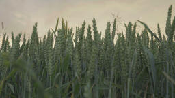 Green wheat over grey clouds GIF