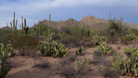 Cacti At Saguaro National Park Arizona United States Of America Live Action