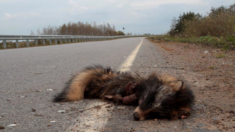 car hit a raccoon dog on the highway Live Action