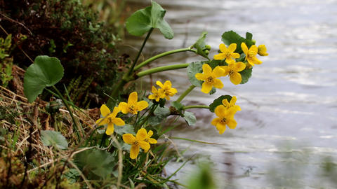 Yellow Northern swamp flowers cowslip swaying Live Action