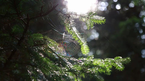 In the forest on the tree spider web with a spider on the background of the sun ビデオ
