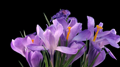 Time-lapse of growing and dying purple crocus with ALPHA channel Footage