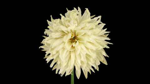 Time-lapse of dying white dahlia with ALPHA channel Bild