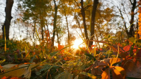 Autumn forest. Beautiful sun rays shine into the camera. Camera in motion Live Action