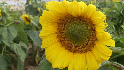Beautiful sunflower blooming and insect Footage