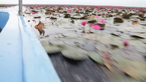 Pink lotus lake tour by boat trip Live Action