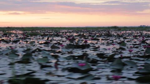 Pink lotus lake take boat tour in the morning Live Action