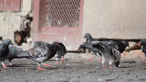 Flock of pigeons eating bread crumbs thrown away by someone on the road pavement Footage