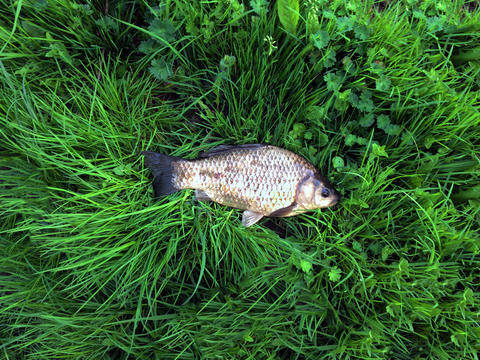 fish lies on green grass. Crucian caught on the river. Fishing sport Photo