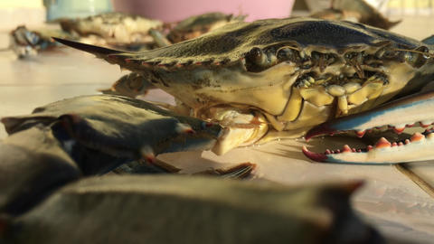 Big Blue Crab Looks at us and Blows Bubbles Footage