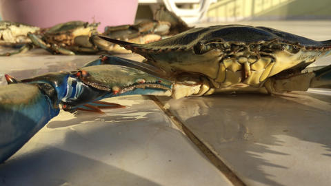 Big Blue Crab With Moving Cheliped, Claws, Legs Live Action