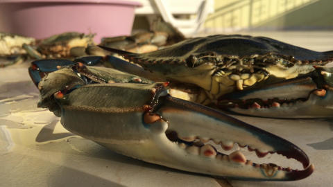 Big Blue Crab With Moving Cheliped, Claws, Legs Stock Video Footage
